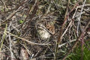 Vipère aspic dans les broussailles